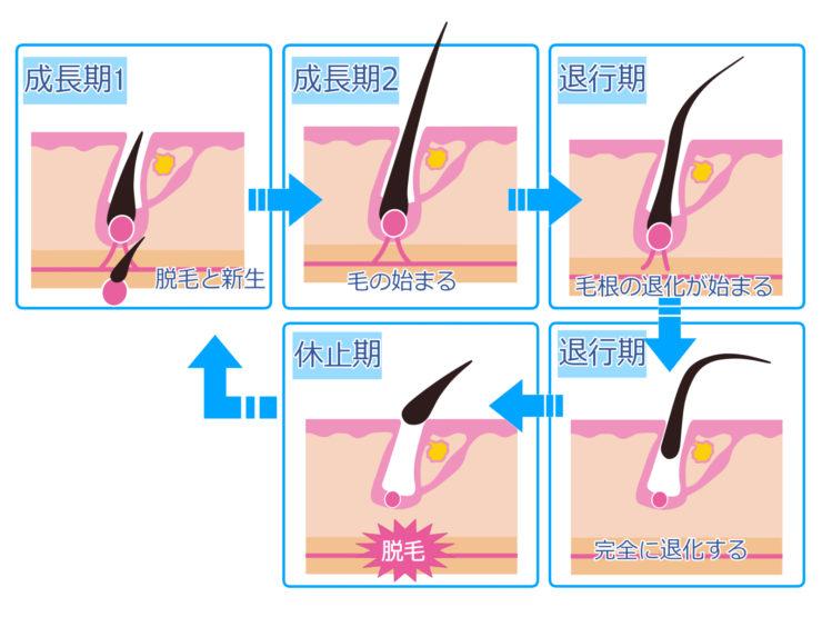 正常な毛周期(ヘアサイクル)